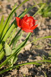 Тulip,. Red tulip on a bed Stock Image