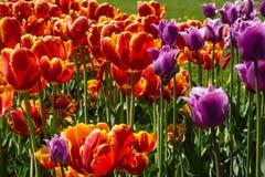 Ulip piękne bukietów tulipanów tulipany kolor Tulipany w wiośnie Zdjęcie Stock