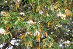 Ulistnienie żółci i kwitnący zieleni gatunki akacja zdjęcie royalty free