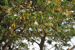 Ulistnienie żółci i kwitnący zieleni gatunki akacja obrazy stock