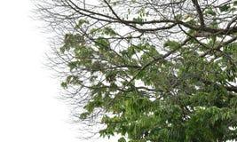 Ulistnienie drzewne korony Zdjęcia Royalty Free