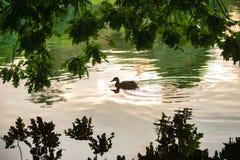 ulistnienie, kaczka w wodzie, ptak, natura zdjęcie royalty free