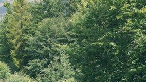 Ulistnienie na deciduous drzewach zdjęcie wideo