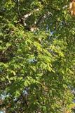 Ulistnienie orzecha włoskiego drzewo Fotografia Royalty Free