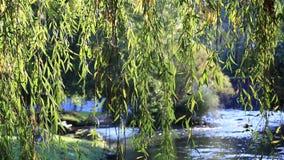 Ulistnienie płacząca wierzba z Aude rzeką w tle zbiory