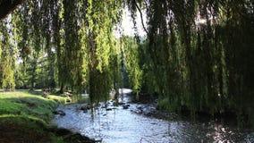 Ulistnienie płacząca wierzba z Aude rzeką w tle zdjęcie wideo