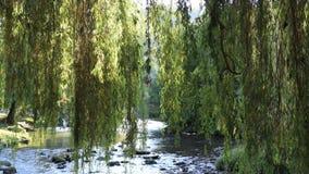 Ulistnienie płacząca wierzba z Aude rzeką w tle zbiory wideo