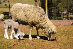 Ullfår och lamb Fotografering för Bildbyråer