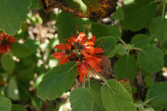 Ullig bottlebrush, födelse- bottlebrush, Greyia radlkoferi Arkivfoto