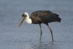 ullig hånglad stork Royaltyfri Fotografi