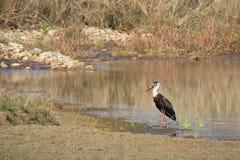 Ullig-hånglad stork i Nepal, Bardia nationalpark Royaltyfri Foto