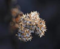 Ullig yarrowväxt i vinter Arkivfoto