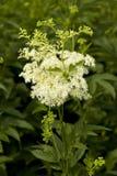 Ulmaria de Filipendula Foto de archivo