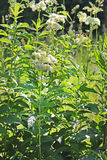 Ulmaria Filipendula Стоковое Фото