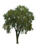 Ulme-Baum auf Weiß Lizenzfreie Stockfotografie
