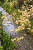 Ulme in der Blume Lizenzfreie Stockfotos