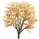 Ulme mit Blättern im Fall Stockbilder