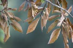 Ulme verlässt im Herbst, die braunen getrockneten Makro Blätter Stockfoto