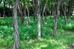 Ulmebäume und -wiese unter Sonnebeleuchtung Stockfoto