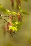 Ulmebaum in der Blüte Lizenzfreies Stockfoto