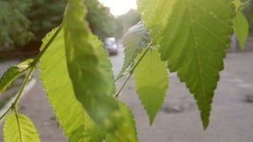 Ulmengrün lässt in einem Park die hintergrundbeleuchteten Sonnenaufflackern stock footage