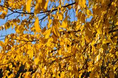 Ulmenniederlassungen mit gelben Blättern Autumn Abstract stockfoto