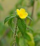 Ulmifolia di Turnera [fiore giallo dell'ontano] Fotografie Stock Libere da Diritti