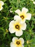 Ulmifolia Turnera Стоковое Изображение
