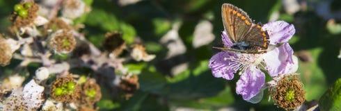 Ulmifolius do Rubus Imagens de Stock Royalty Free