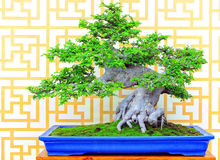 Ulmus parifolia oder Bonsaianlage der chinesischen Ulme lizenzfreies stockfoto