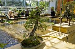 Ulmus parvifolia dell'olmo cinese - bonsai nello stile di Immagini Stock Libere da Diritti