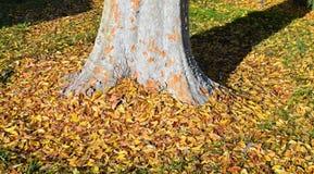 Ulmus parvifolia dell'olmo cinese in legno di Laguna, California fotografie stock