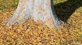 Ulmus parvifolia dell'olmo cinese in legno di Laguna, California immagini stock libere da diritti