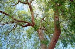 Ulmus parvifolia dell'olmo cinese in legno di Laguna, California fotografia stock libera da diritti