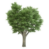 Ulmus Tree Isolated Royalty Free Stock Images