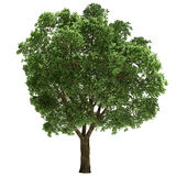 Ulmus Tree Isolated Stock Images