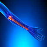 Ulna Bone Anatomy with Ciculatory System Stock Images
