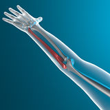Ulna bone, x-ray human body Royalty Free Stock Images