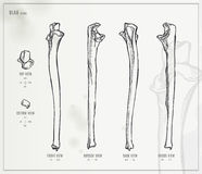 Ulna Royalty Free Stock Images
