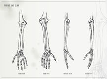 Ulna and radius Royalty Free Stock Photography
