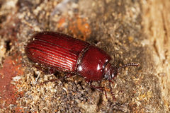 Uloma culinaris. Darkling beetle, photographed in nature on a piece of wood stock photography