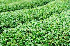 Ulong tea farm Stock Photos