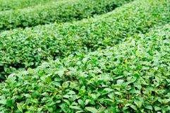 Ulong tea farm Stock Photos