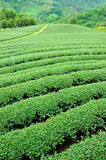 Ulong tea farm Royalty Free Stock Photos