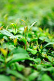 Ulong tea farm Royalty Free Stock Photography