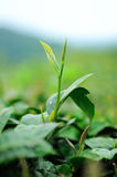 Ulong tea farm Royalty Free Stock Photo