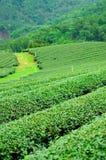 Ulong tea farm Royalty Free Stock Photos