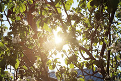 Ulotek drzewa widocznymi jabłoniami przez których są promienie słońce Zdjęcie Royalty Free