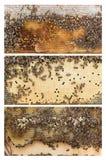 Ulowe ramy miodowe pszczoły Obraz Stock