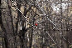 Ultima bacca di sorbo nella foresta di autunno senza foglie Immagini Stock Libere da Diritti